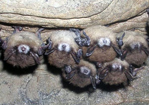 bats with white nose-Washington Department of Fish and Wildlife