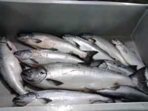 Spring season troll caught king salmon (KFSK file photo courtesy of Matt Lichtenstein)