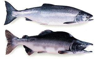 Pink salmon-ADF&G