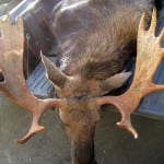 A legal moose harvested this year lays in the back of a truck. Photo courtesy of ADF&G