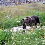 Brown bear at Frederick Point on eastern Mitkof Island (Submitted photo)