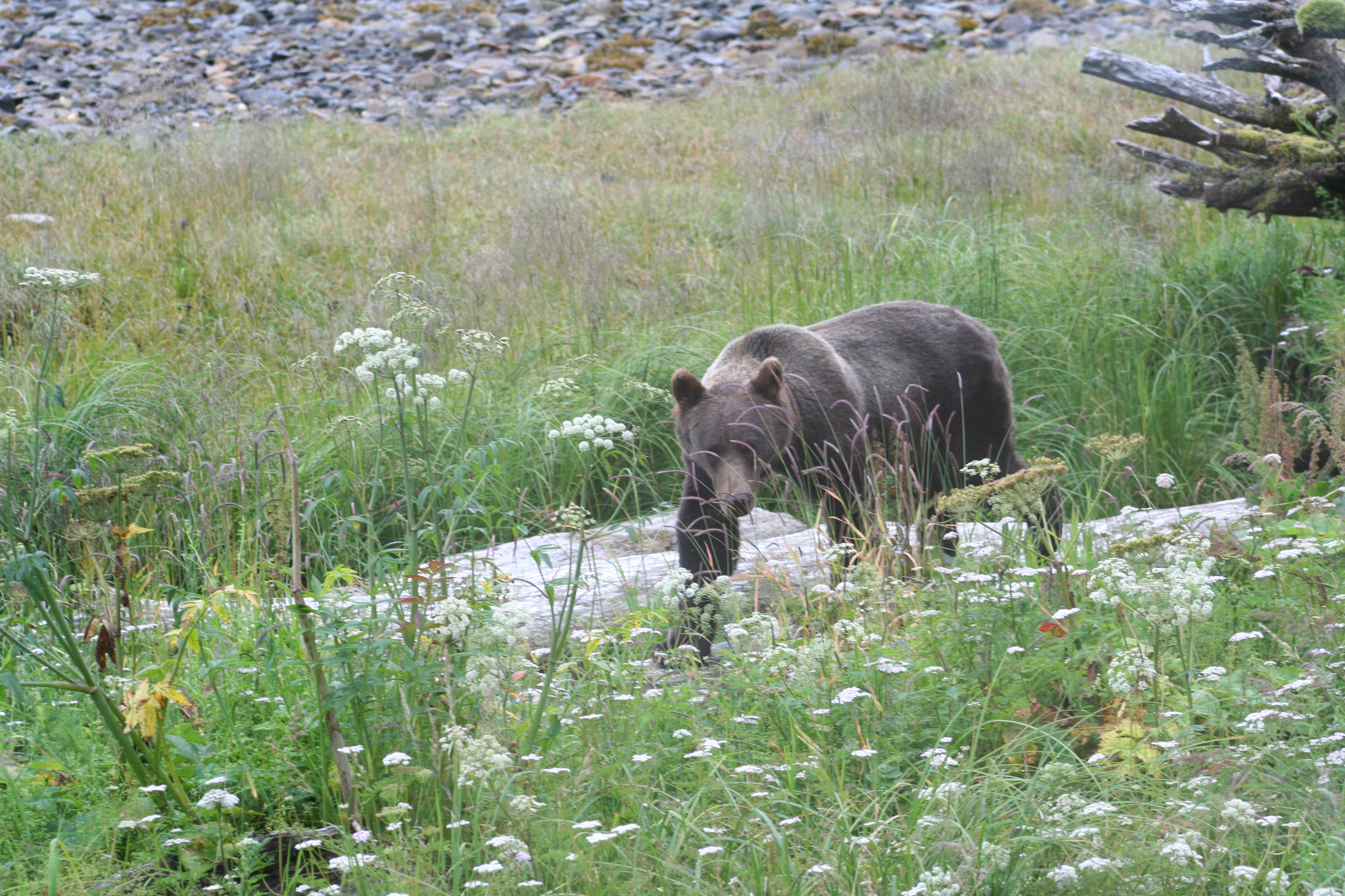 Brown bear, wolf encounters in and near Petersburg this summer