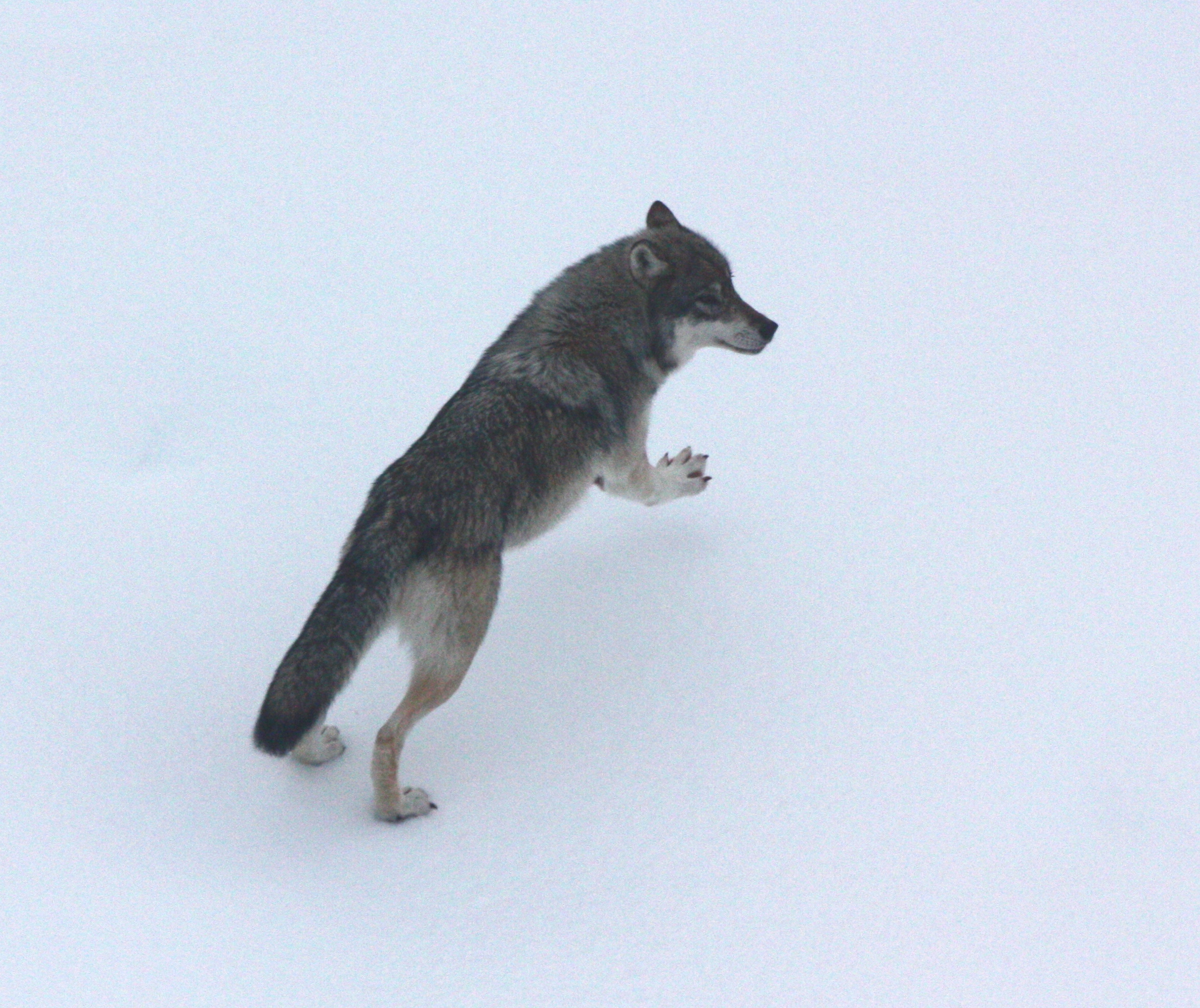 State looks at Southeast Alaska wolf control programs