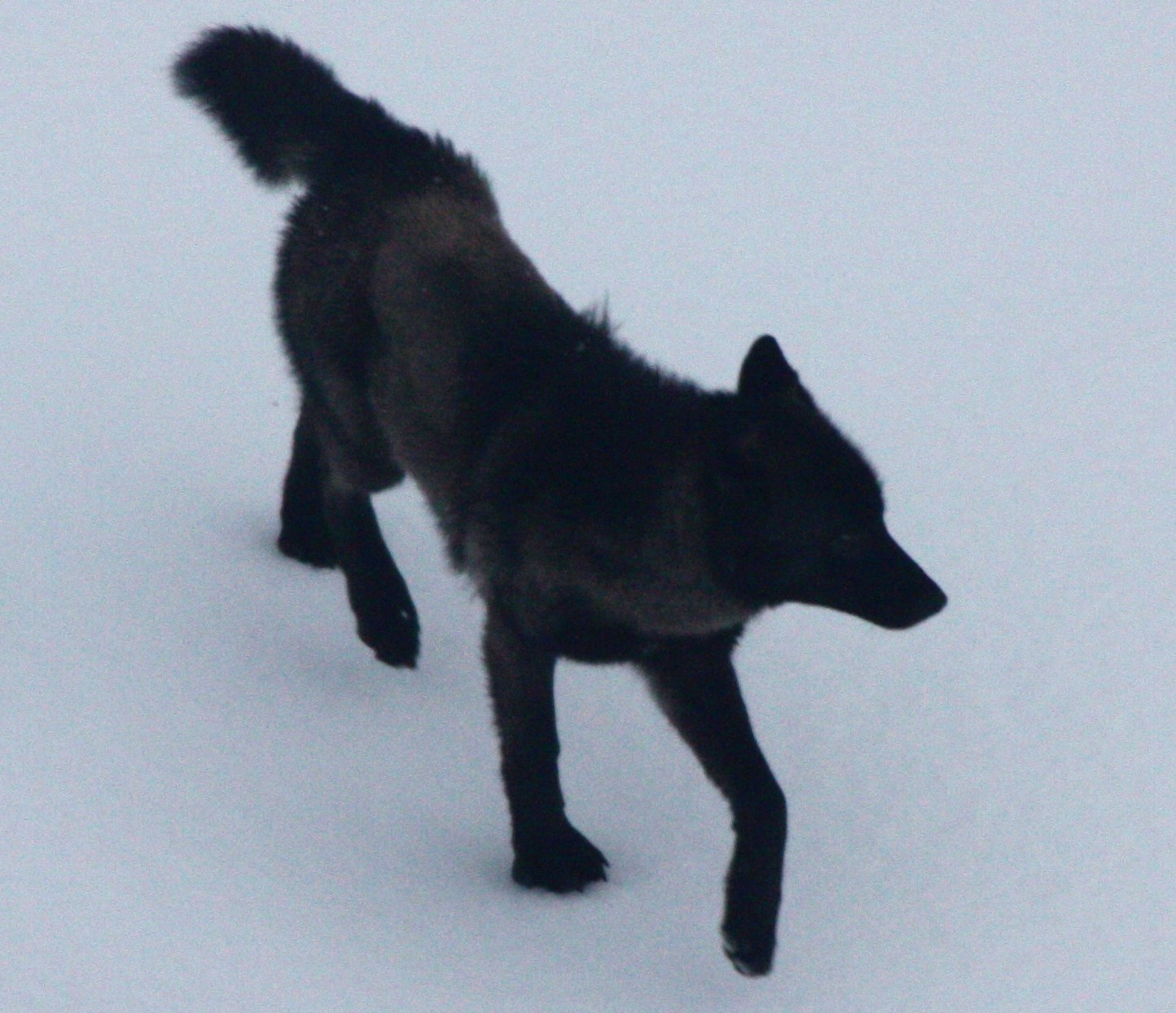 Board of Game OKs experimental wolf control programs for Southeast