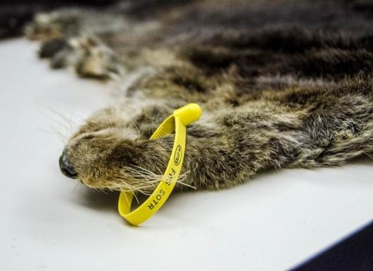 Senators debate otter bounty legality