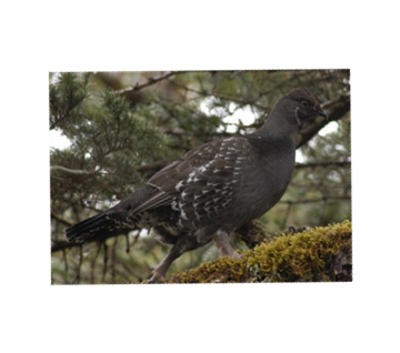 Grouse and ptarmigan wing, tail samples needed