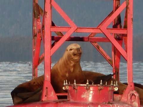 Harbor board recommends fish waste ban as fix to Petersburg's sea lion problem