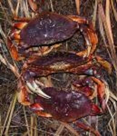 Dungeness summer crab season shortened