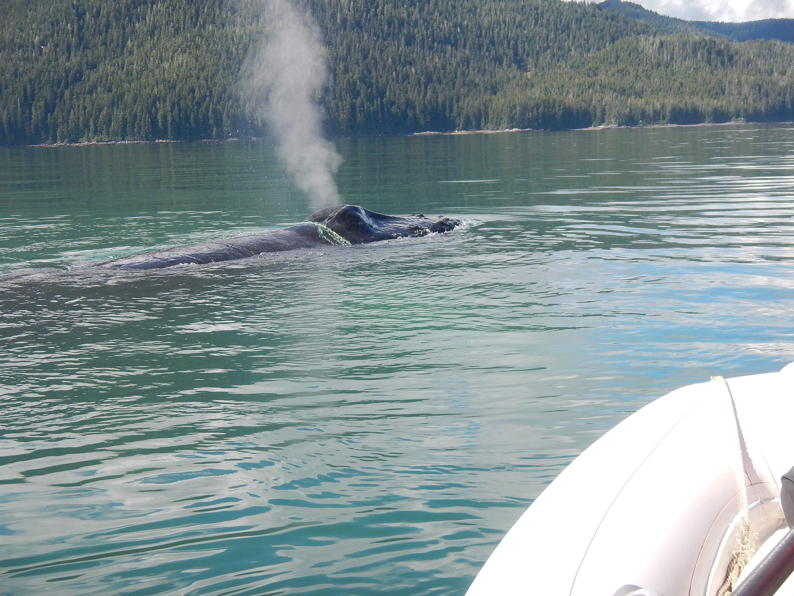 Whale tangled in gillnet heads north