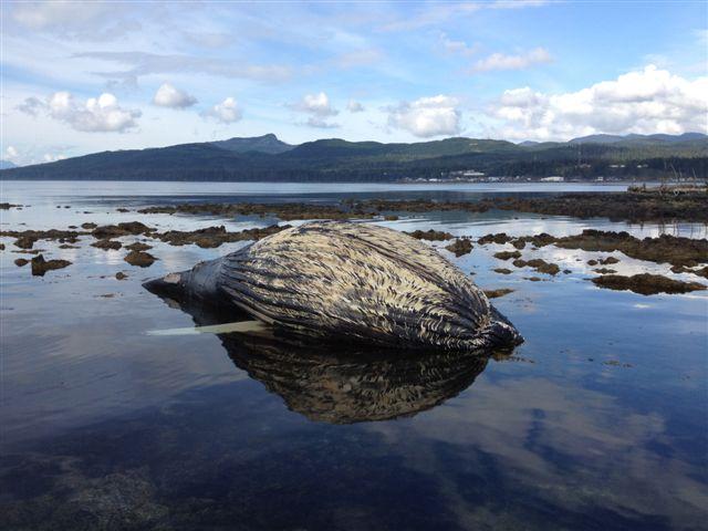 Dead humpback whale examined near Kake