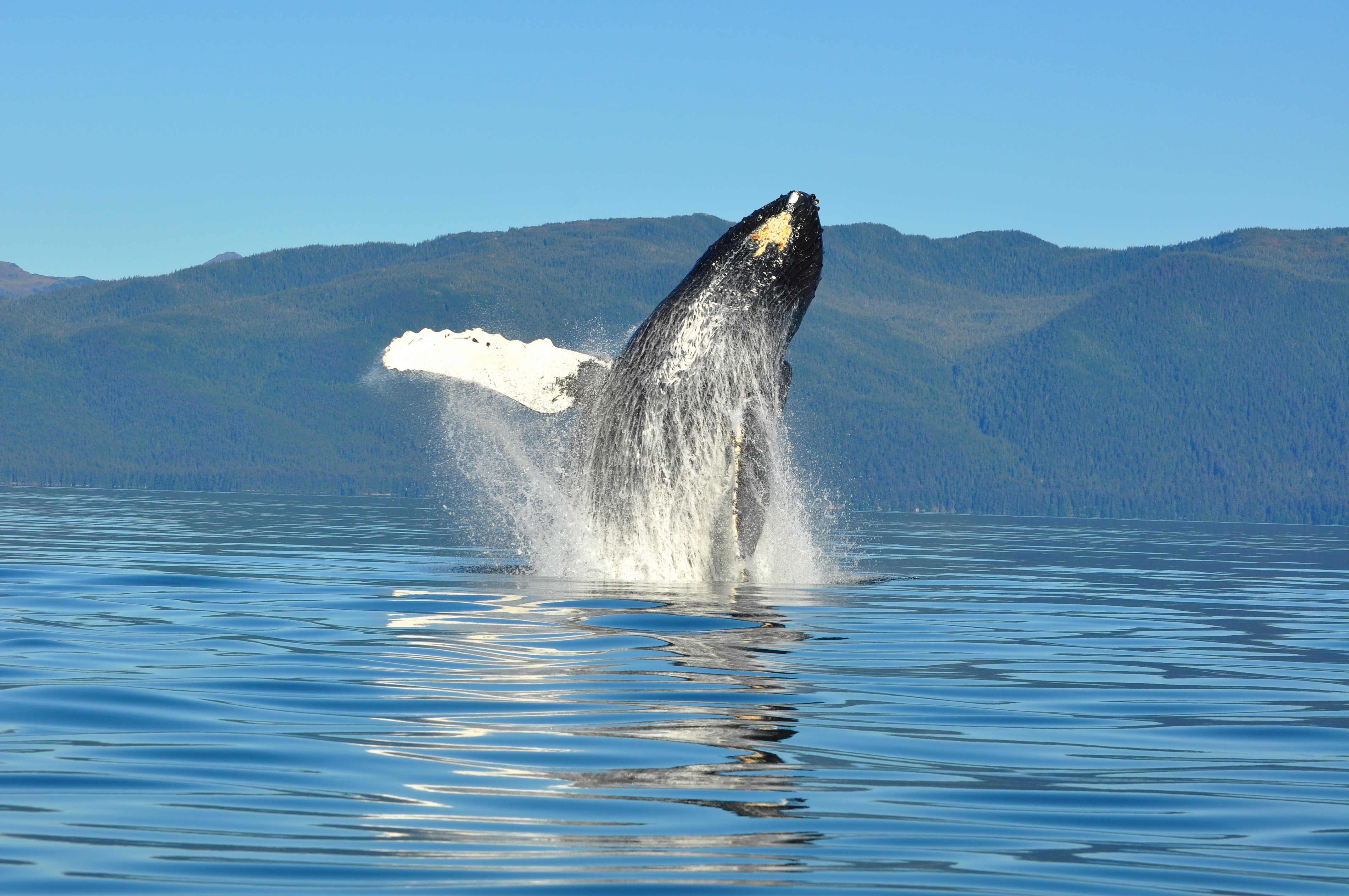 Thriving humpback whale population continues to grow in Southeast
