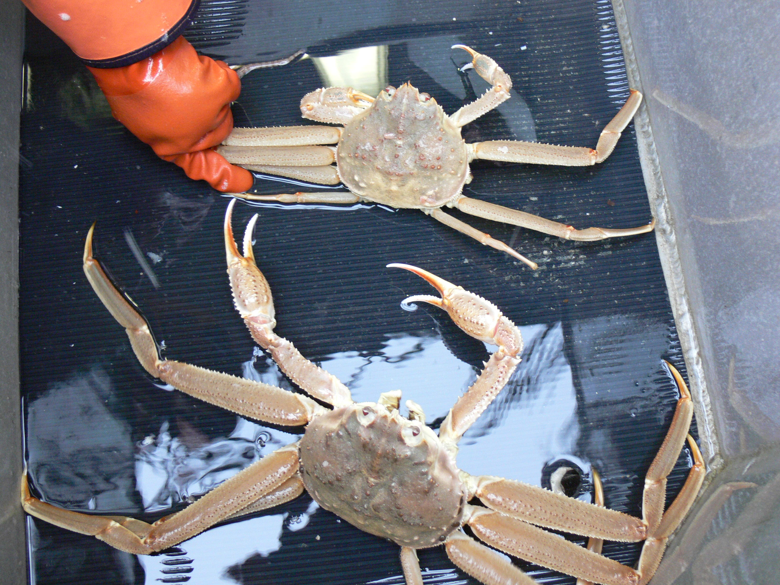 Southeast crab seasons underway after weather delay