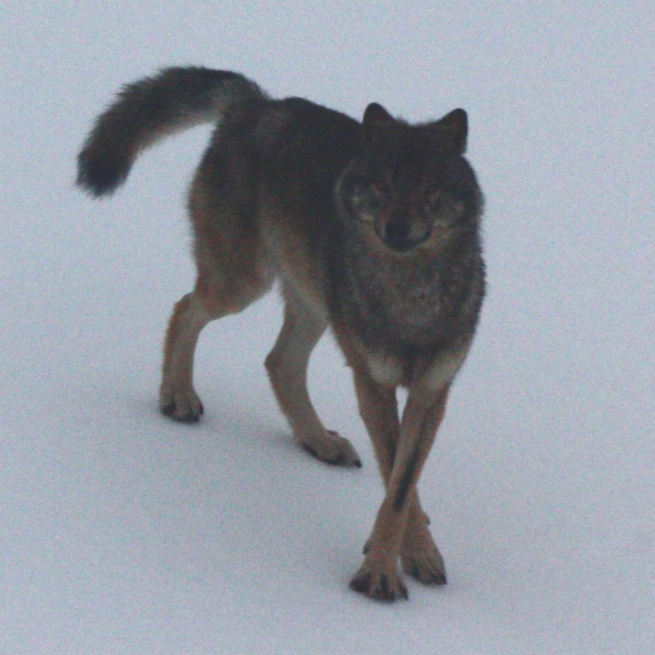 Petitioners sue for Southeast wolf listing decision