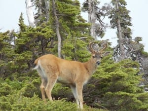 A buck looks down near the summit of Scott Peak on northeastern Kupreanof Island.
