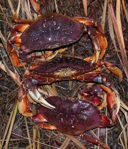 dungy crabs