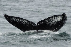 Old Timer's Flukes captured from the deck of the M/V Northern Song on July 12th. (Jim Nahmens/Nature's Spirit Photography)