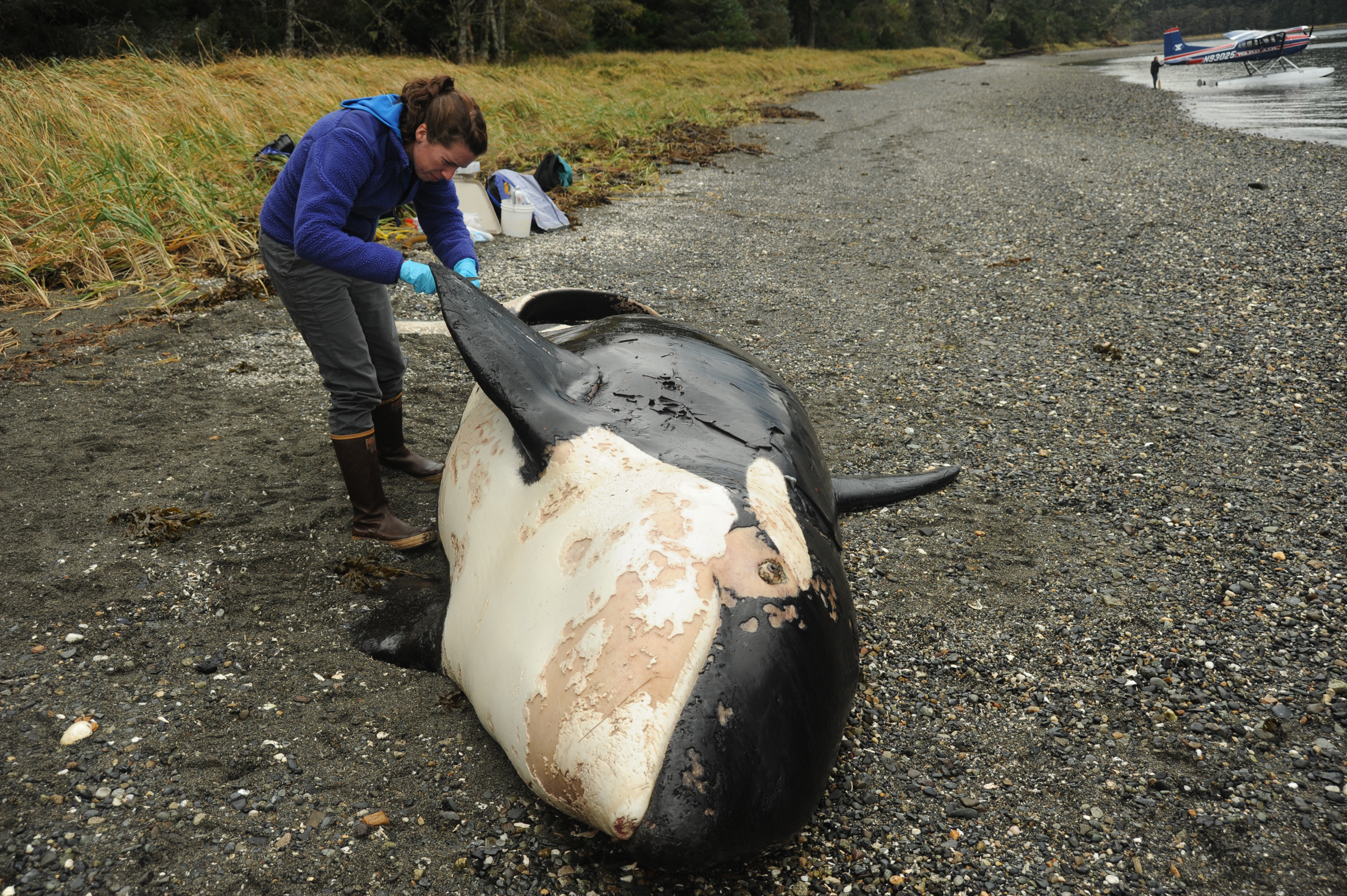 Scientists identify dead killer whale found in Southeast