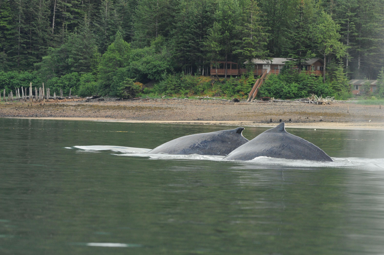Entangled whale dumps tracking buoy near Kake