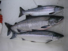 Southeast net fisheries bolstered by chum catches in early season