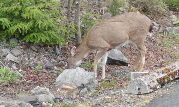 Non-subsistence deer hunting limit announced for POW