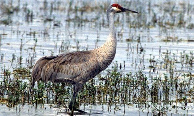 Sandhill cranes featured in Stikine River Birding Festival