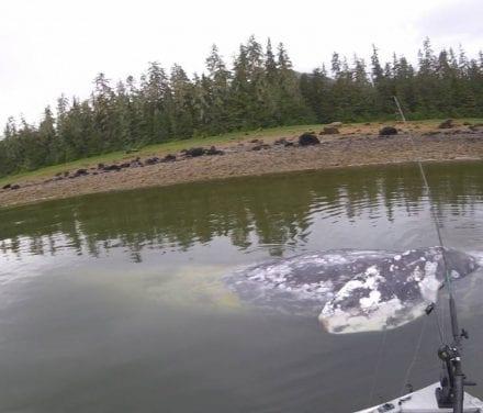 Eight dead gray whale in Alaska waters