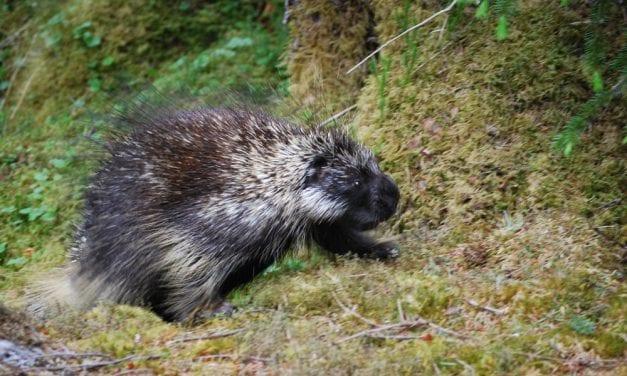 Dead porcupines deposited on Mitkof Highway