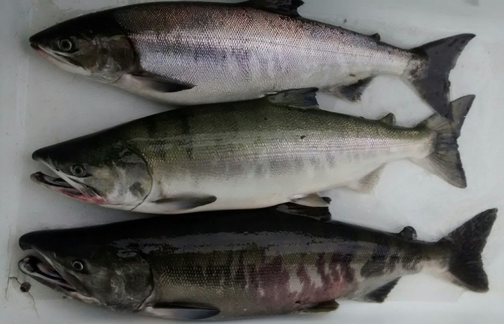 Southeast Alaska's summer chums returned much lower than expected - KFSK