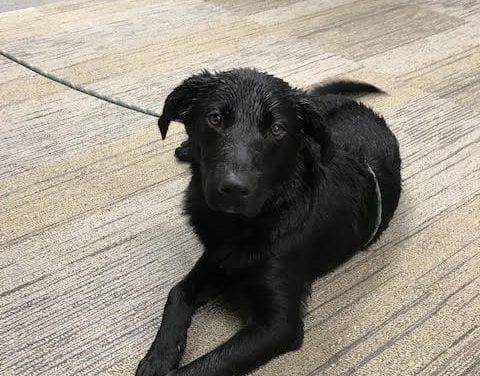 Friendly Black Lab Found, now at Police Department