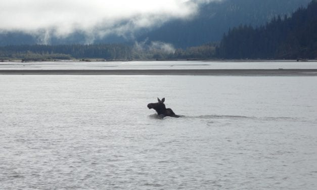Central Southeast moose hunt total matches last year's