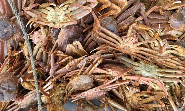 Above average harvest predicted for Southeast's commercial Tanner crab fishery
