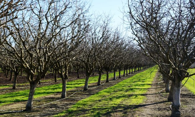 Warm Winters Threaten Nut Trees. Can Science Help Them Chill Out?